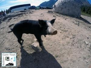 Schwein_Korsika_GoProHero4-compressor